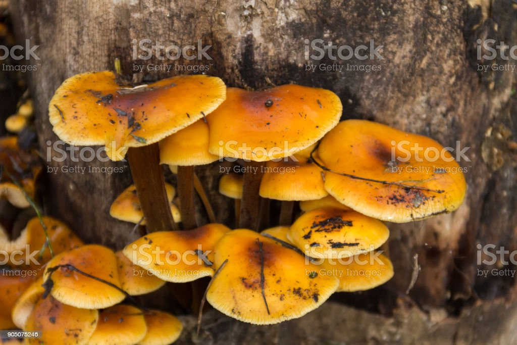 Honey fungus growing on a stump in the forest stock photo