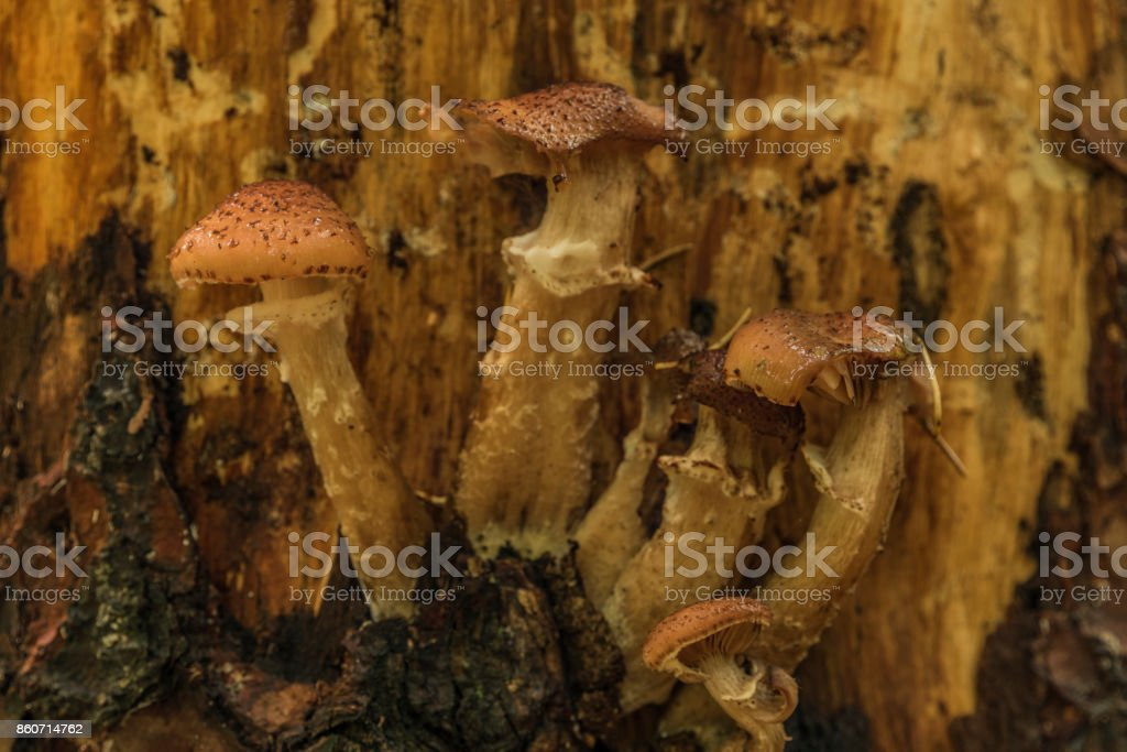 Honey fungus on tree in morning forest stock photo