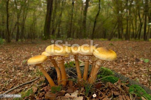 istock honey fungus (Armillaria mellea) 1048012866