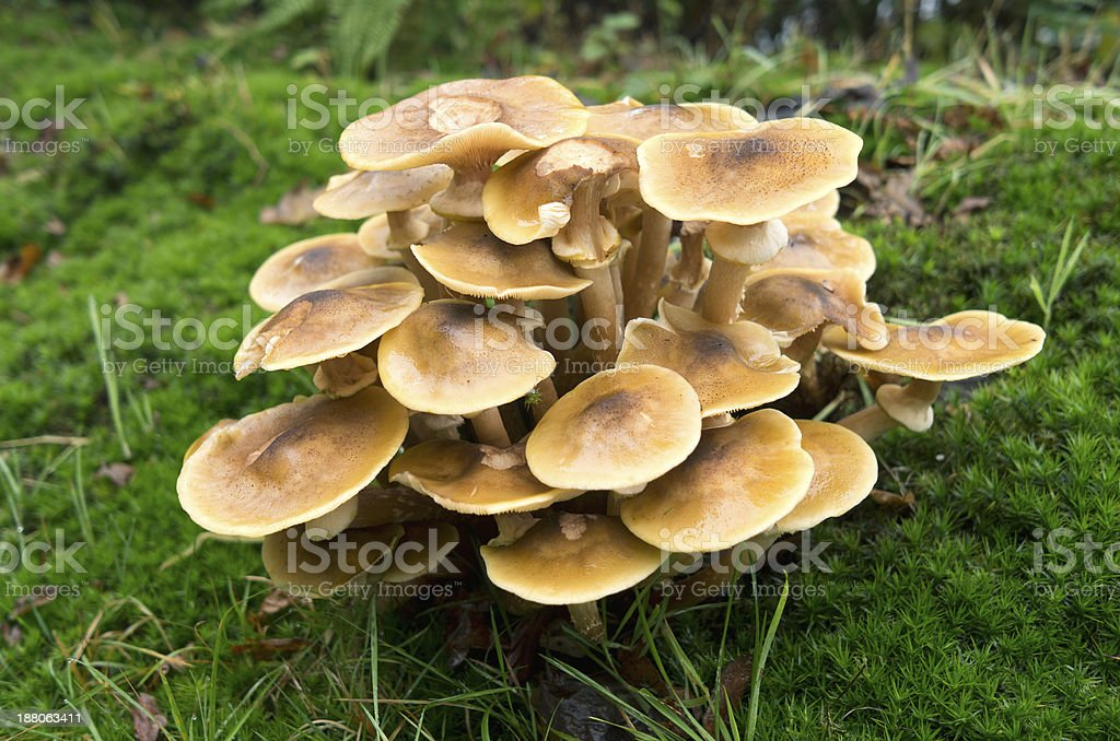 Honey fungus. stock photo