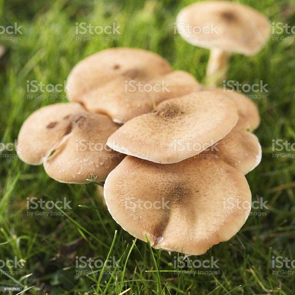 Honey Fungus royalty-free stock photo