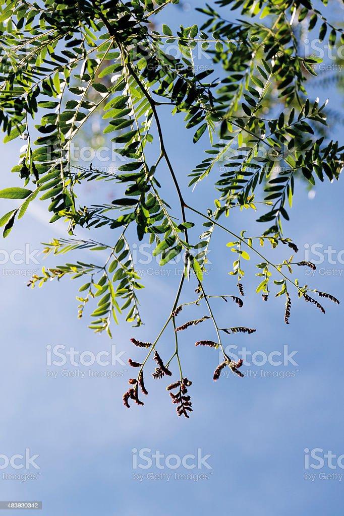 Honey locust against sky,close up stock photo