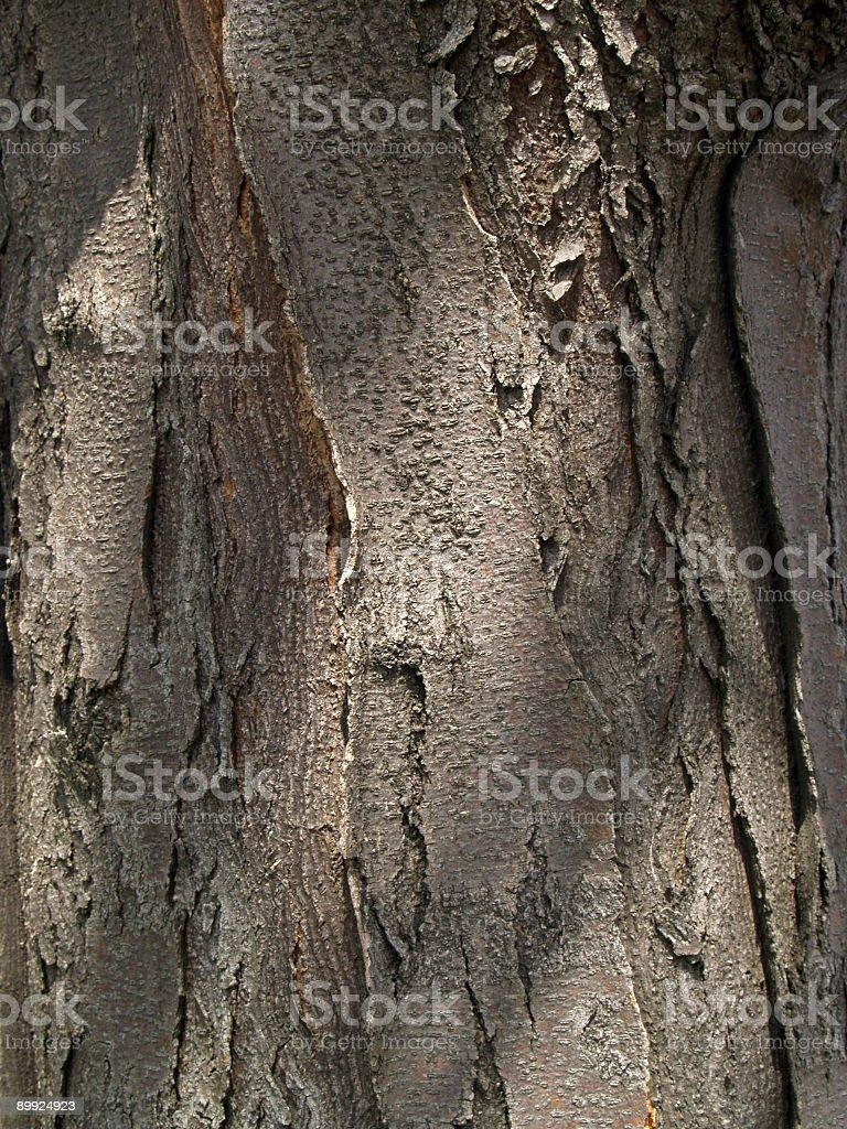 Honey Locust Tree Bark and Trunk Detail in Pennsylvania stock photo
