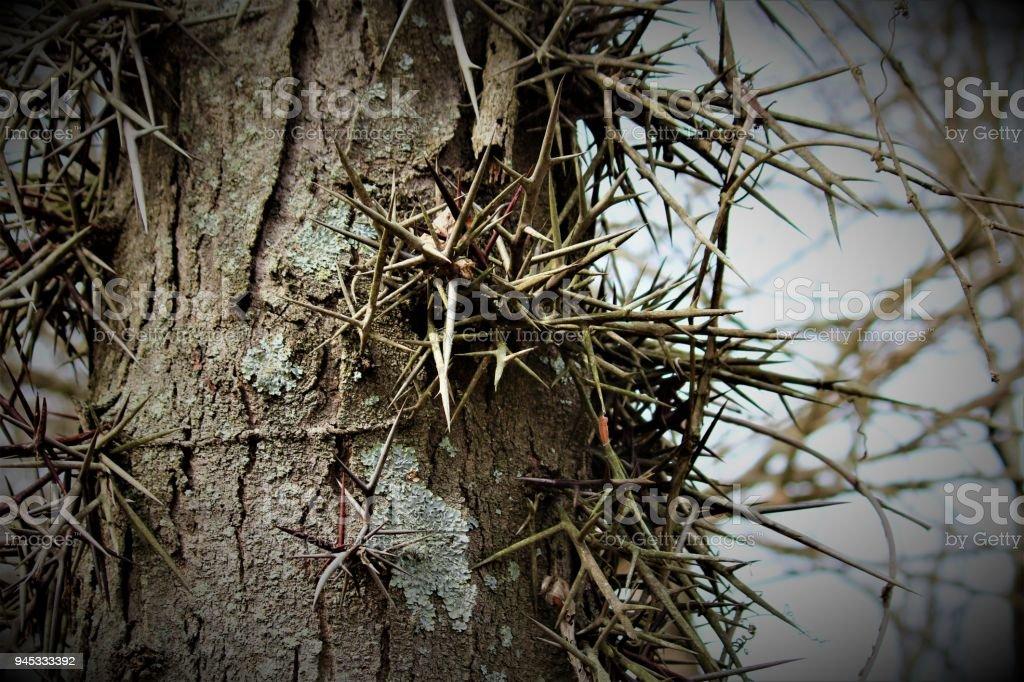 A Honey Locust Tree In Ohio stock photo