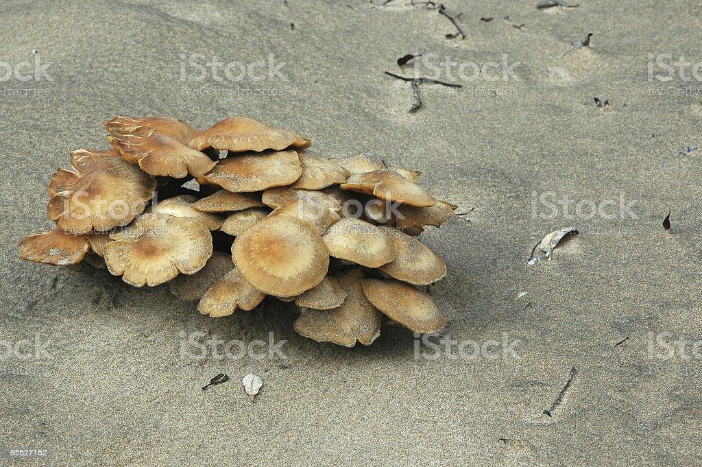 honey mushroom, Armillaria mellea stock photo