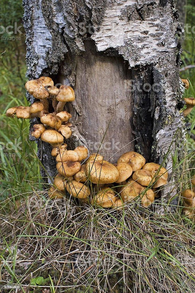 Медовая грибами стоковое фото