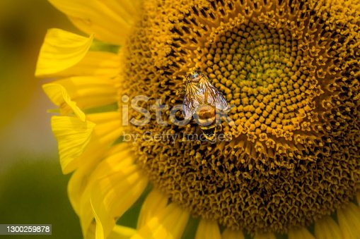 Honeybee pollinating and collecting honey from a giant Sunflower.