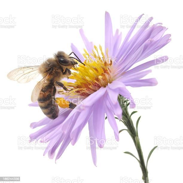 Honeybee and blue flower picture id186244336?b=1&k=6&m=186244336&s=612x612&h=zo lxzqdifvwcyf8zory6jearmb26ir7osdnwr6b3bk=