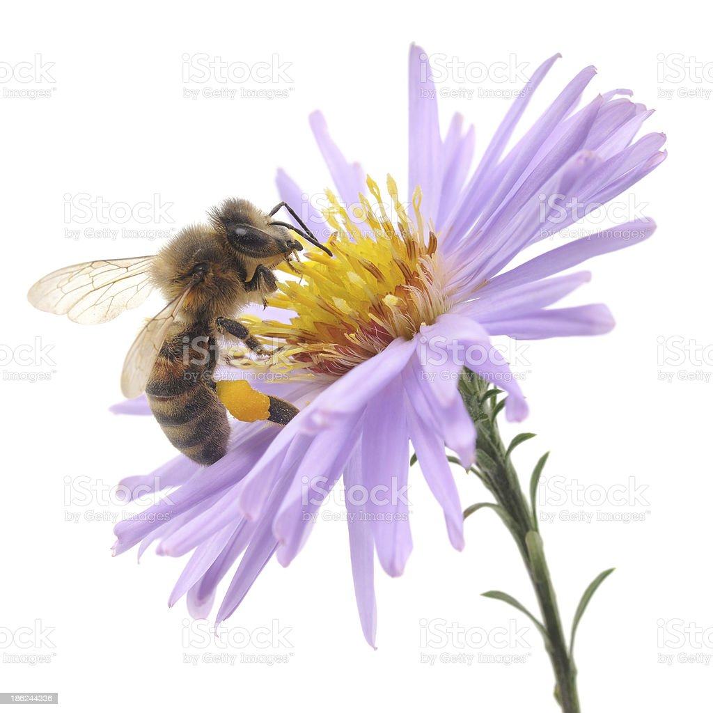 Honeybee and blue flower stock photo