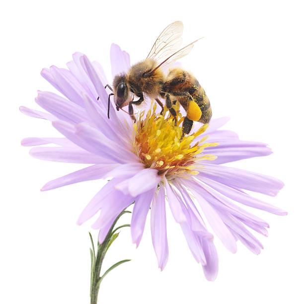 꿀벌, 블루 아이리스입니다 - 꽃밥 뉴스 사진 이미지