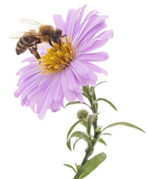 pszczoły miodnej i niebieski kwiat - pręcik część kwiatu zdjęcia i obrazy z banku zdjęć