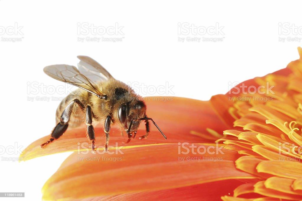 Honeybee and gerbera daisy 01 stock photo