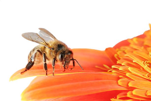 Honeybee et gerbera 01 - Photo