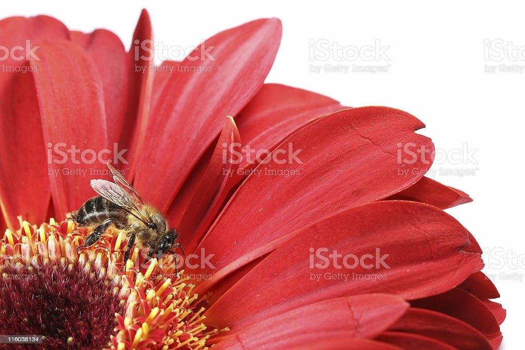 Honeybee et gerbera rouge 01 - Photo