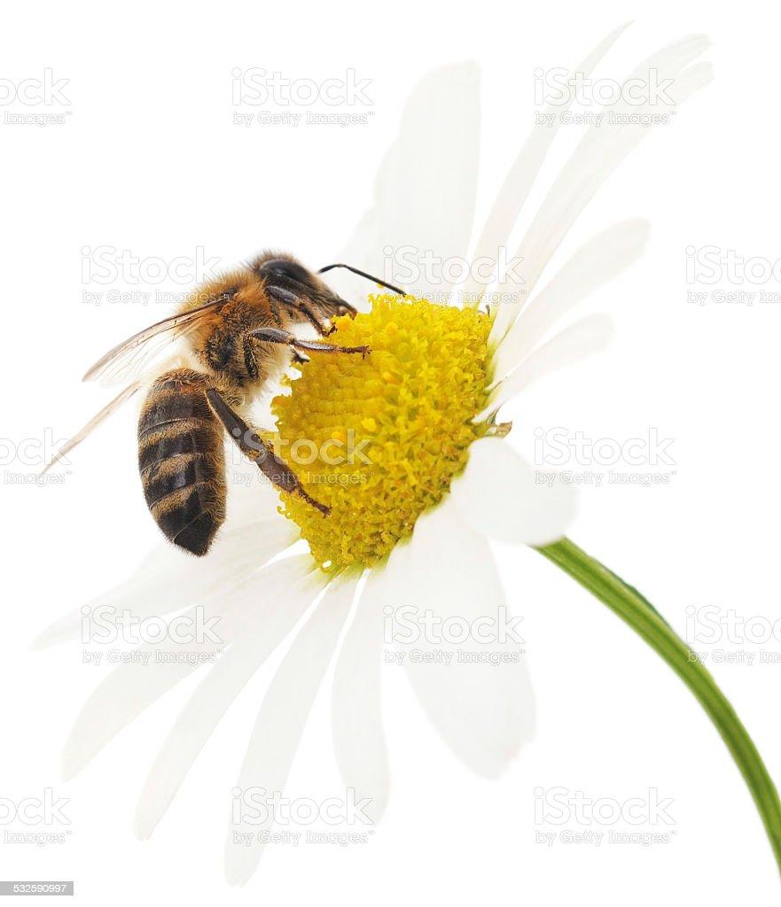 Honeybee und Weiße Blume - Lizenzfrei 2015 Stock-Foto
