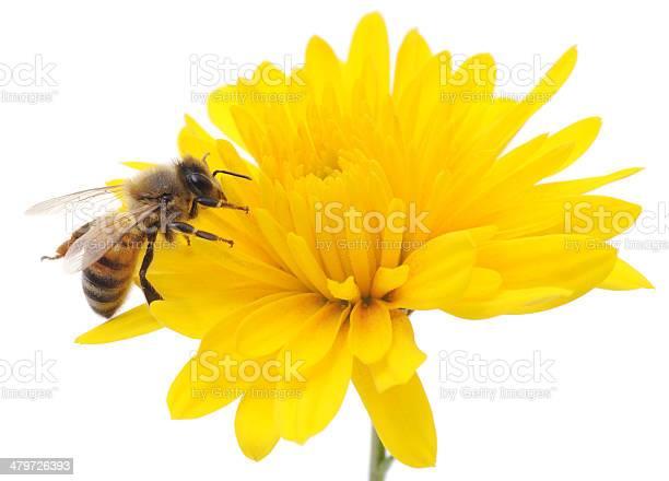 Honeybee and yellow flower picture id479726393?b=1&k=6&m=479726393&s=612x612&h=jhjygsymvgt qgl2fwzffkxp5toirox9k7lrh8uhtru=