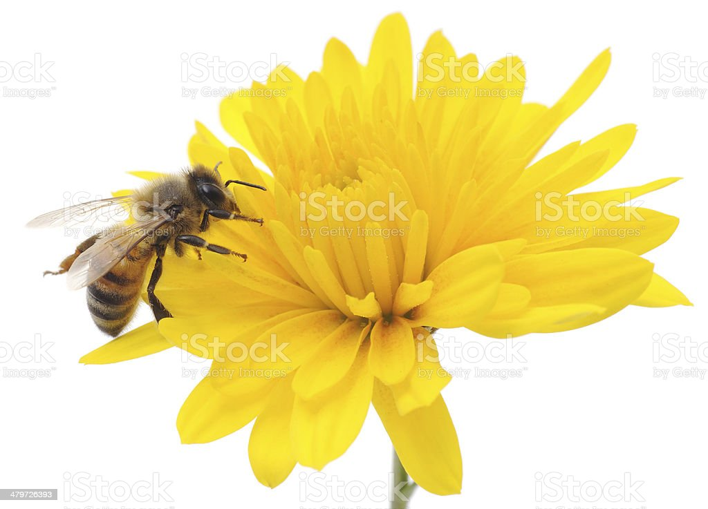 Honeybee and yellow flower stock photo