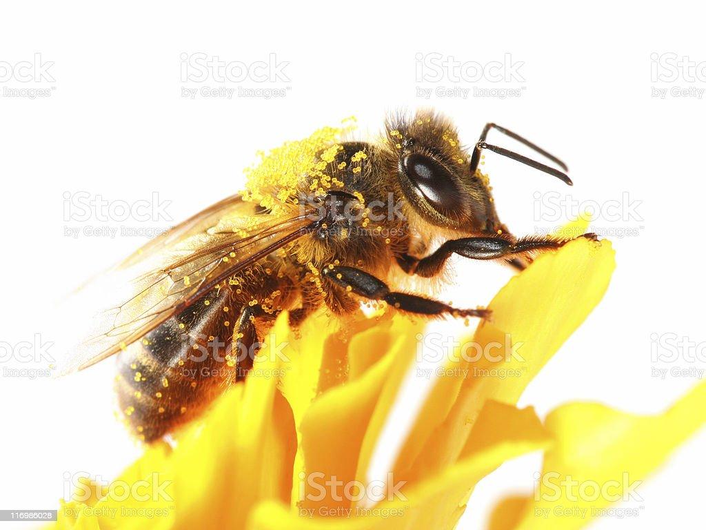 Honeybee and yellow marigold stock photo