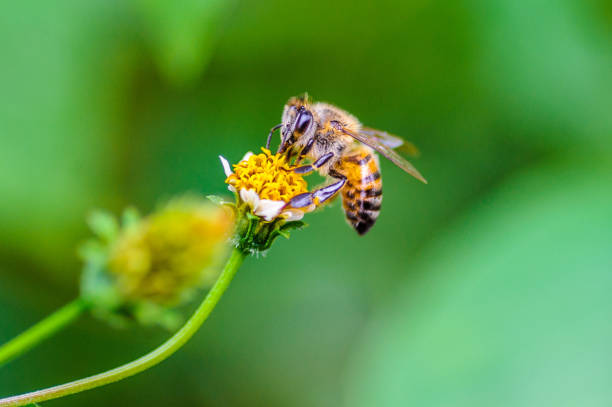 Honeybee collecting nectar from flower stock photo