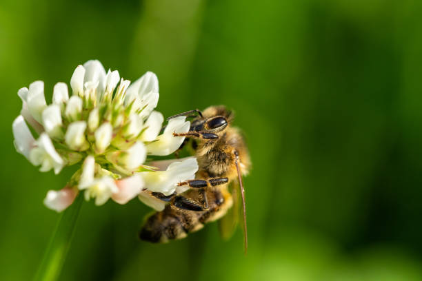Honeybee collecting pollen from a clover blossom in the garden in picture id1273992464?b=1&k=6&m=1273992464&s=612x612&w=0&h=g5d5eyb1nurjwncwedxxu4in5mwpwyd7qwnk1iuleb4=