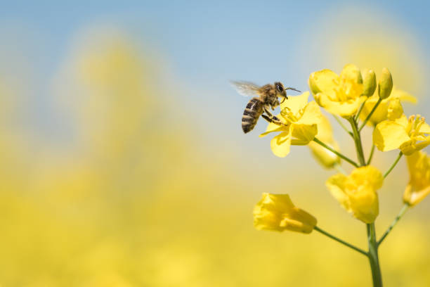 honeybee collects honey - rape blossom in spring - ape foto e immagini stock