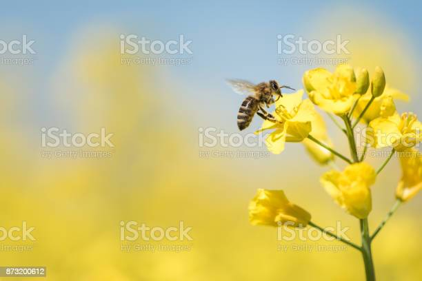 Photo of honeybee collects honey - rape blossom in spring
