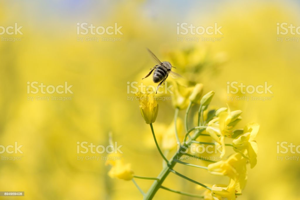 Honeybee collects honey - rape blossom in spring stock photo