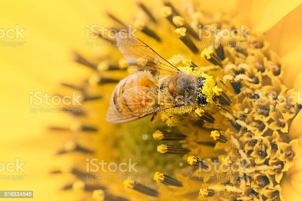 Photo of Honeybee Covered In Pollen On A Yellow Sunflower