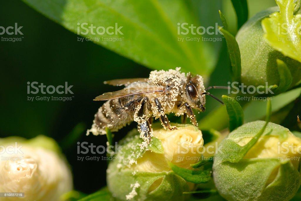 Honeybee covered with pollen stock photo