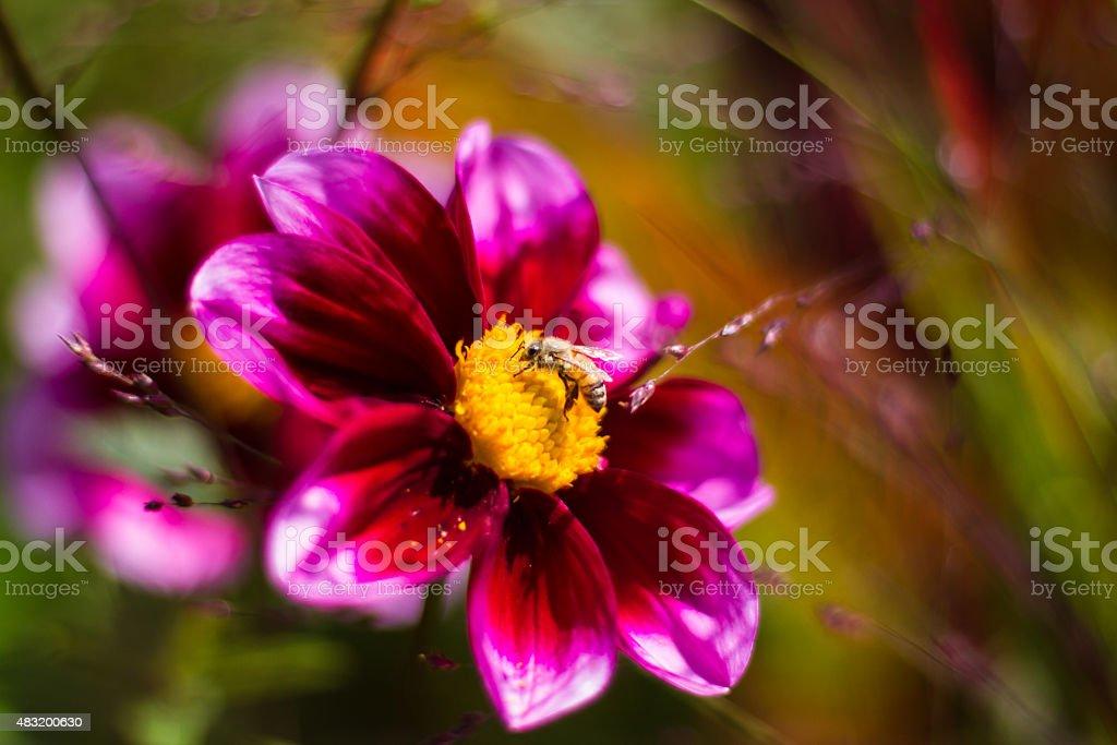 Honeybee Feeds on Flower Pollen stock photo