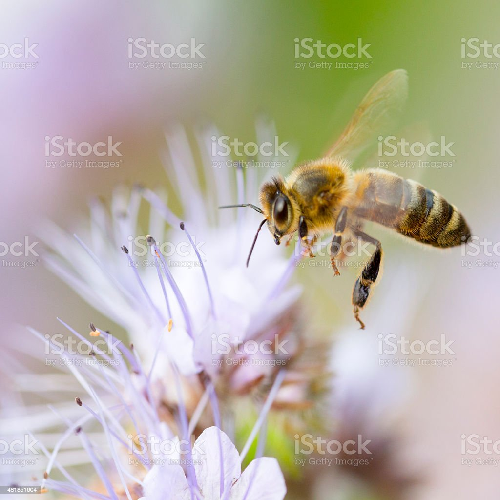 Honeybee flying to flower stock photo