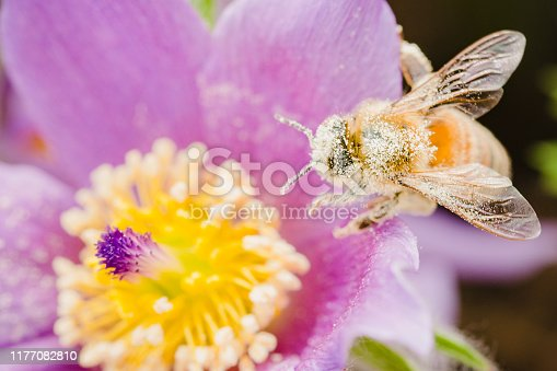 Pollen covered honey bee on a magenta pink crocus pasque flower in a spring garden.