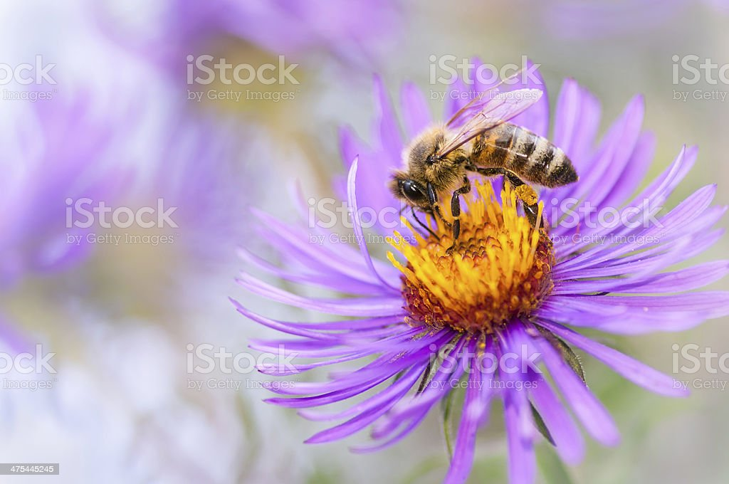Honeybee in autumn stock photo