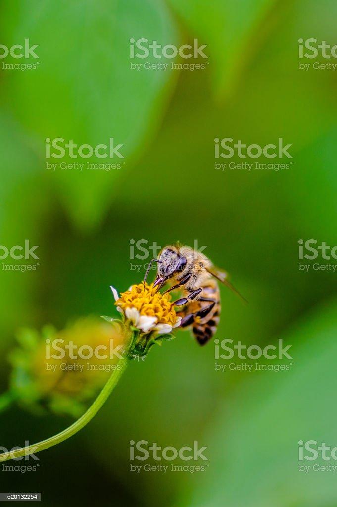 Honeybee in garden collecting nectar from flower stock photo