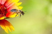 Honeybee in the spring is flying to a yellow-red blossom, against blurred background