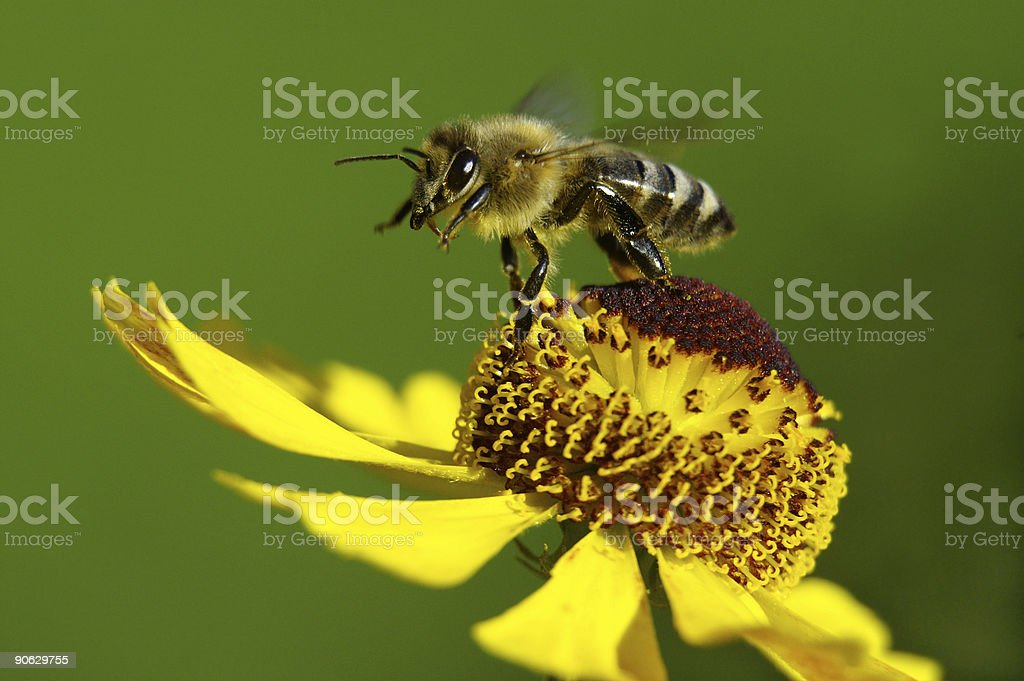 Honeybee in the take-off royalty-free stock photo