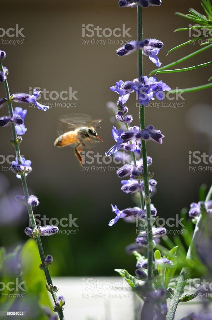 Honeybee midflight on russian sage stock photo