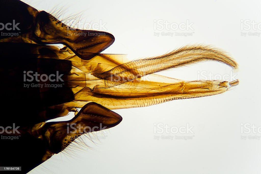 Honeybee mouth parts stock photo