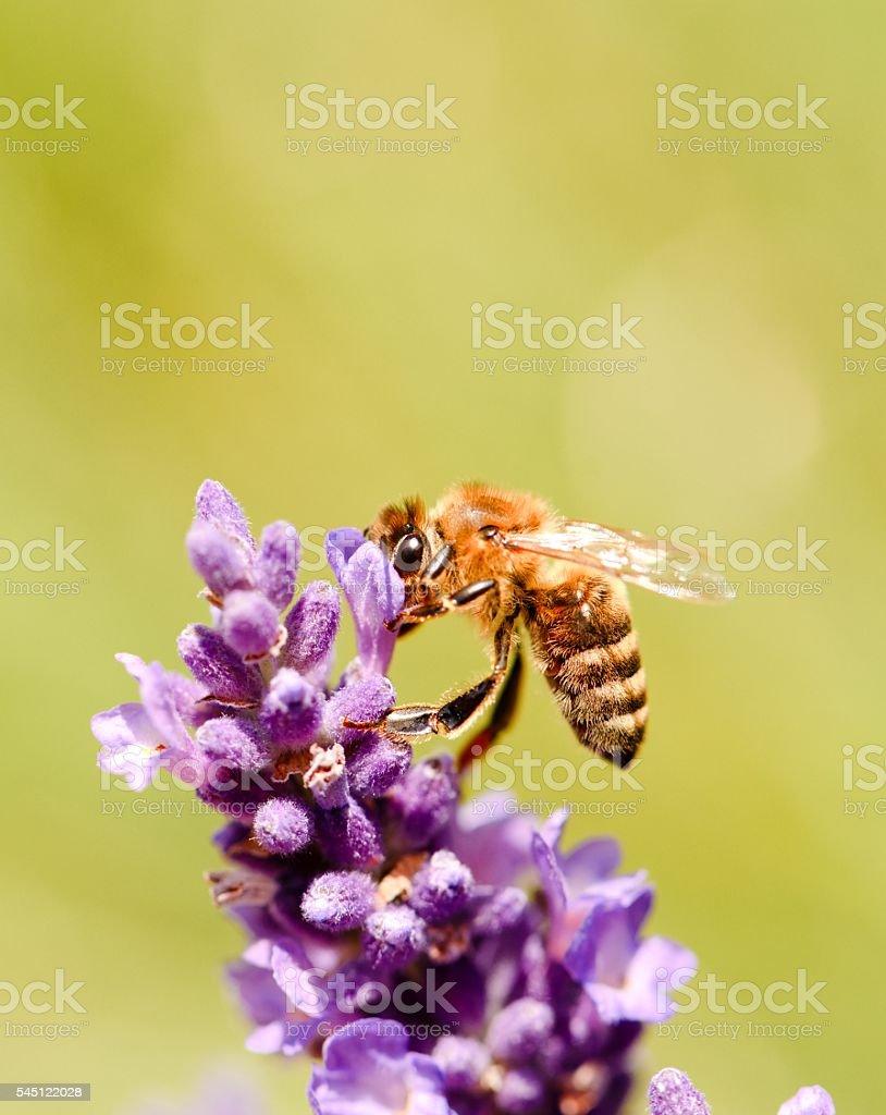 Honeybee on a flower bloom of purple lavender stock photo
