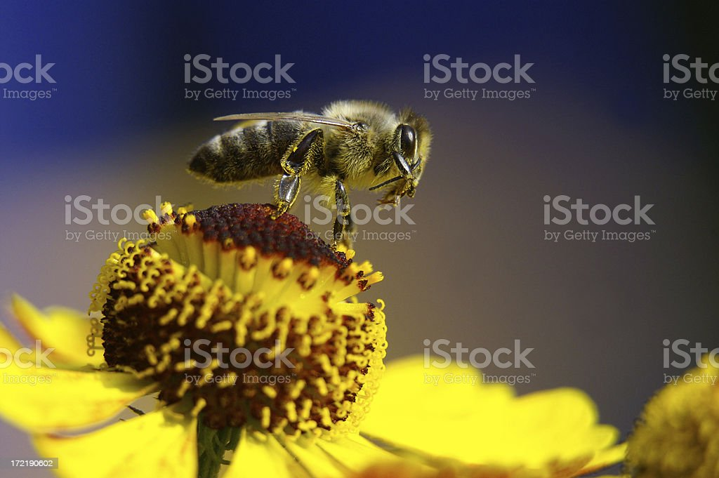 Honeybee sur une fleur jaune - Photo