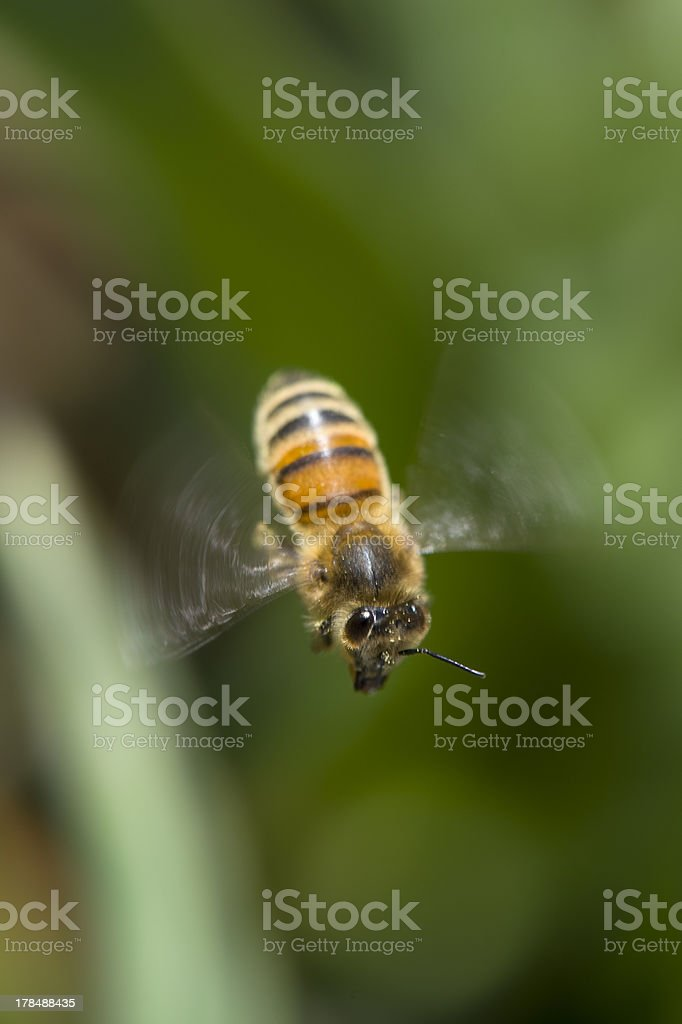 Honeybee on a yellow sun bride royalty-free stock photo