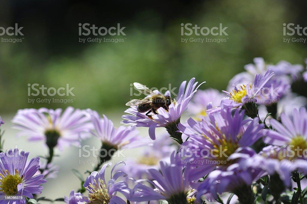Honeybee on aster alpinus royalty-free stock photo