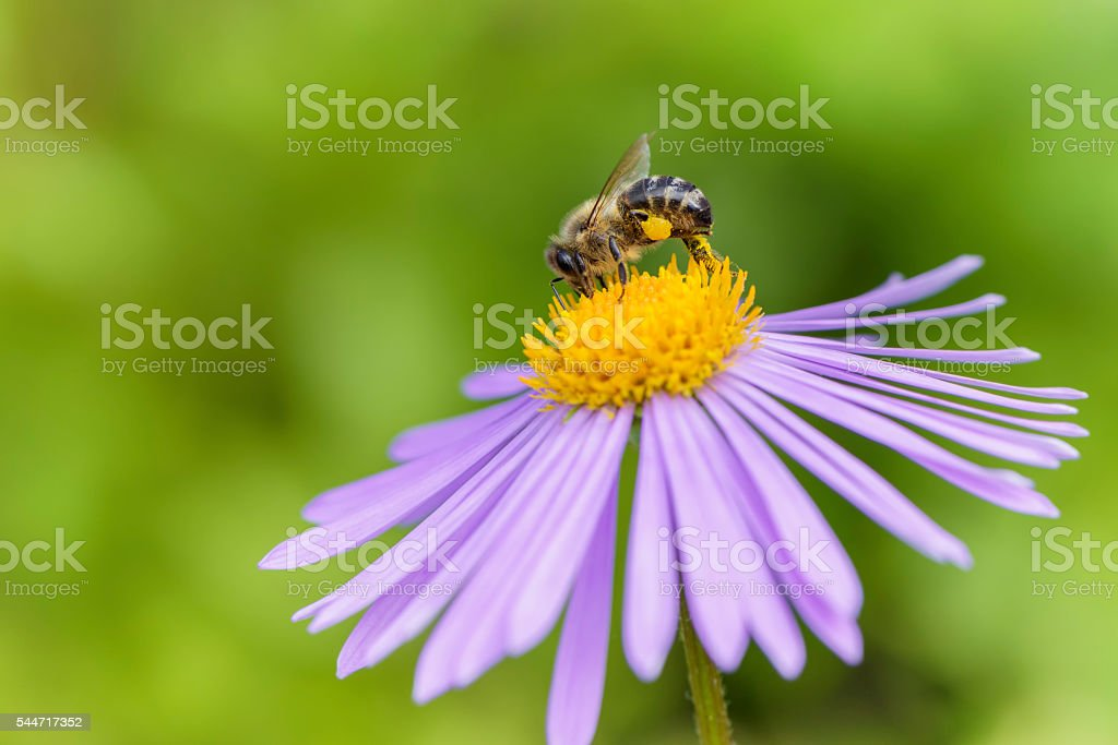 Honeybee on Aster flower stock photo