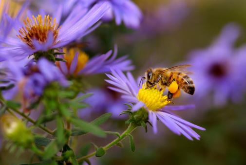 A honeybee (Apis mellifera) sips nectar from an aster in a butterfly garden.