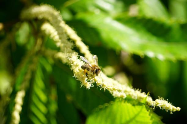 honigbiene auf kastanie - kastanientiere stock-fotos und bilder