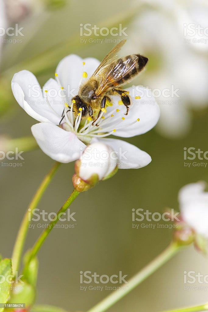 Honeybee on flower royalty-free stock photo