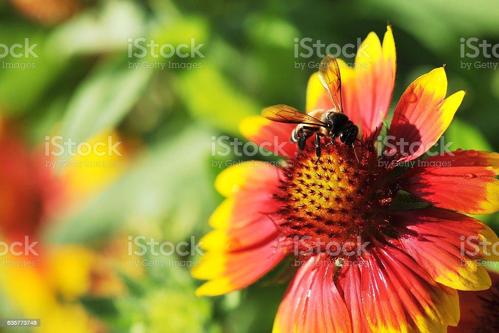 Honeybee on Gaillardia pulchella Foug, Blanket Flower stock photo