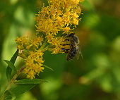 Honeybee on goldenrod in afternoon sunlight