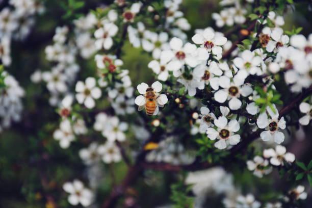 Honeybee on manuka picture id1198931645?b=1&k=6&m=1198931645&s=612x612&w=0&h=c3plpj8epnxtnvaugh7wd4c57zfrcipz3wlmsajkqza=