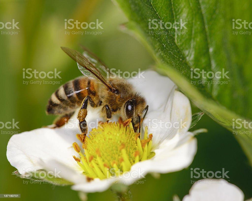 Honeybee on Strawberry Flower stock photo
